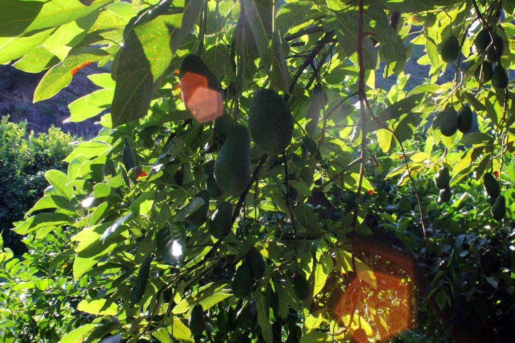 finca-de-miguel-olefruits