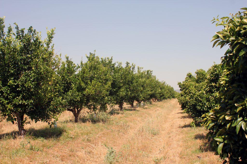 finca citricos ecologicos olefruits
