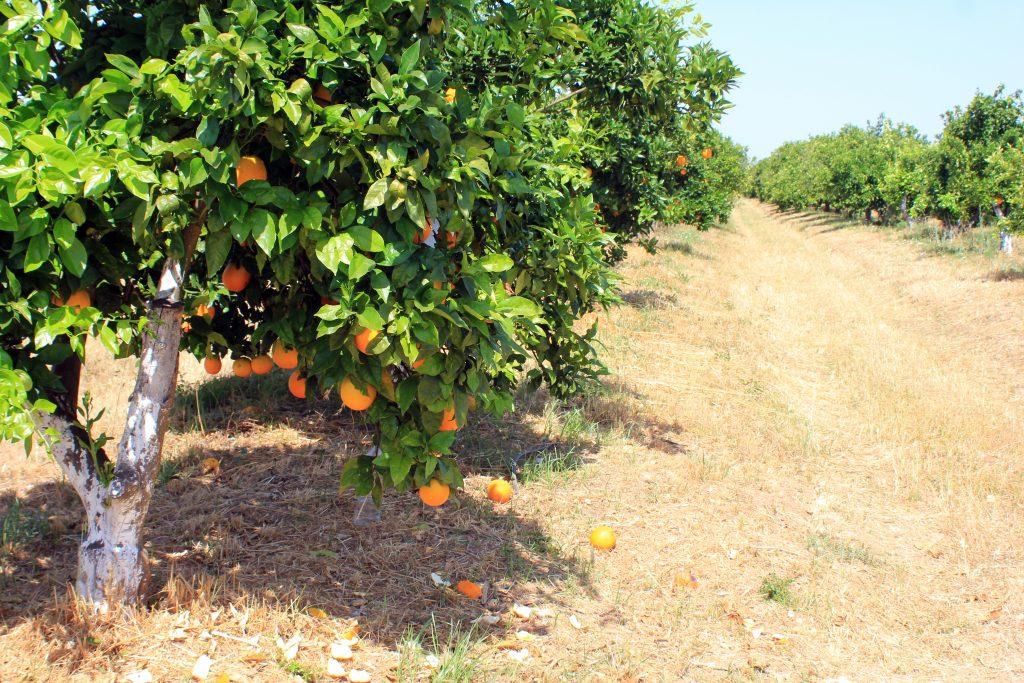 finca naranjos juan y cesar olefruits
