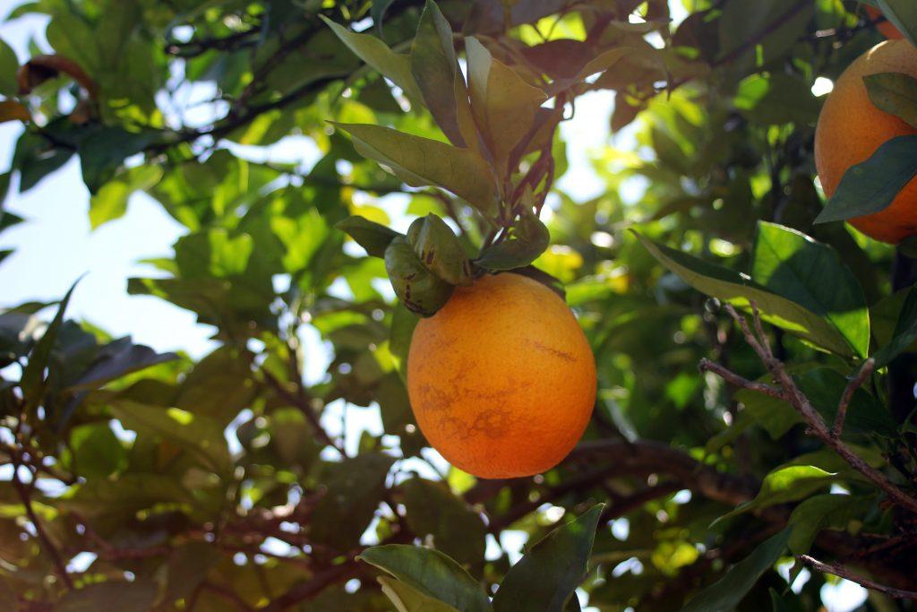 naranja ecologica olefruits