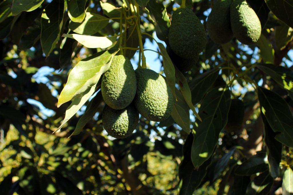 olefruits_aguacate_ecologico